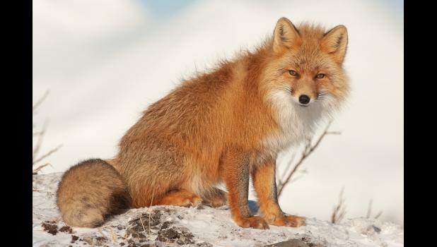 RED FOX— The increase in positive rabies cases has brought attention from Alaska rabies control specialists.